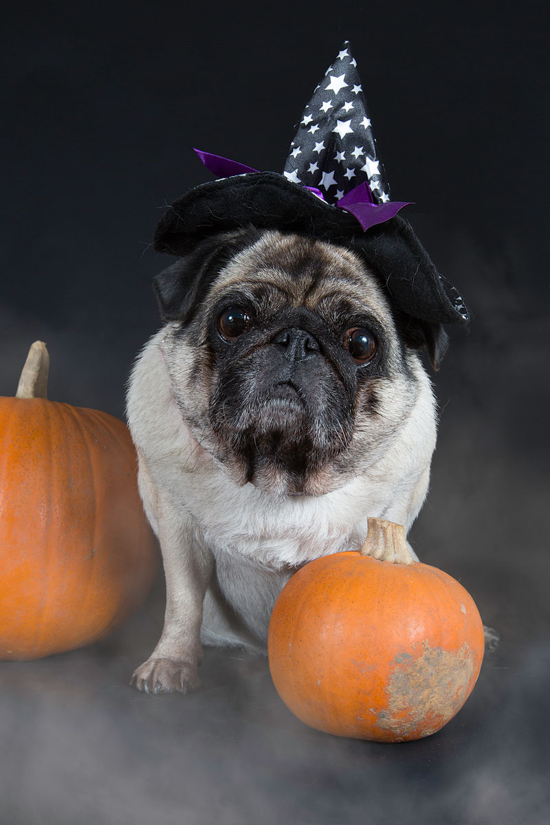 pug as a witch