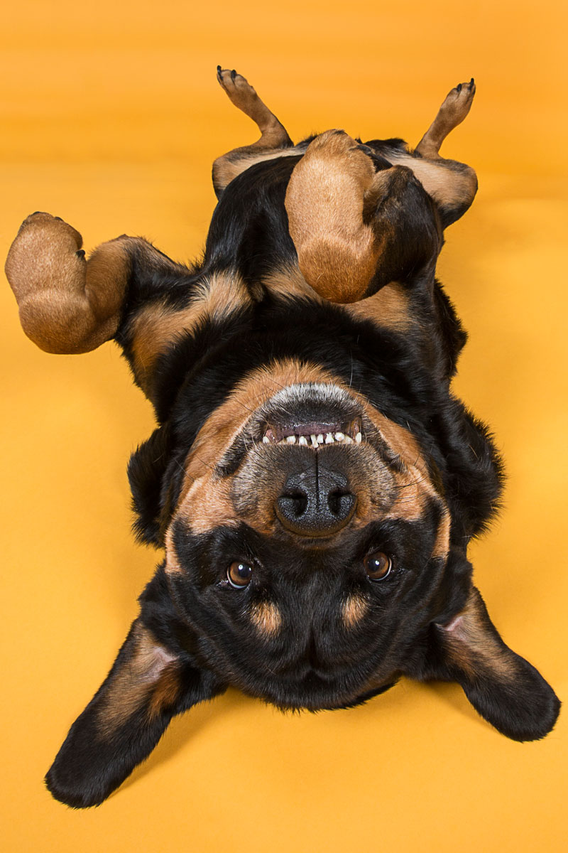 rottweiller on her back