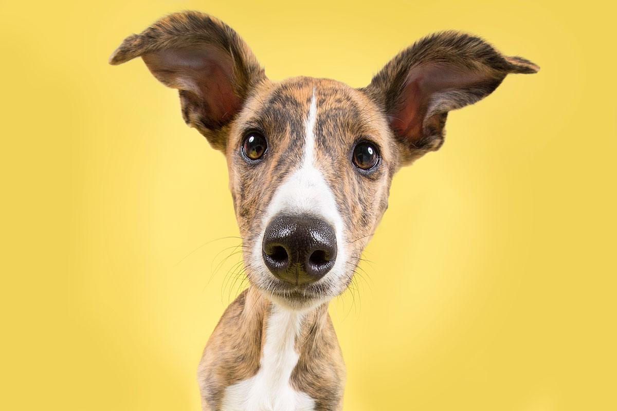 lurcher puppy on yellow