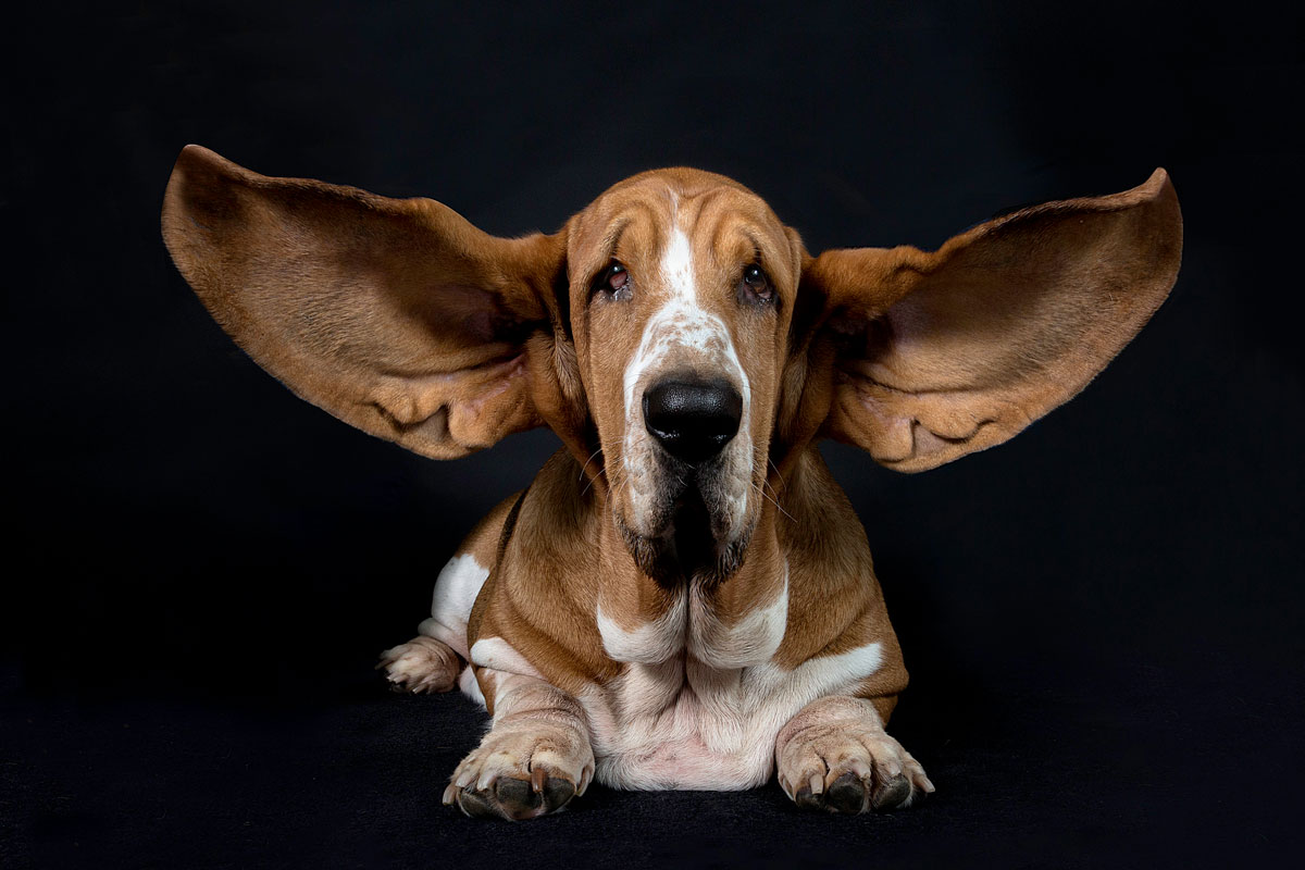 dog with large ears