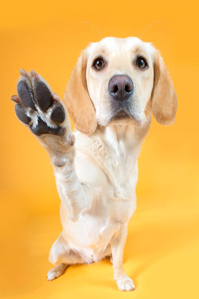 golden retriever offering her paw