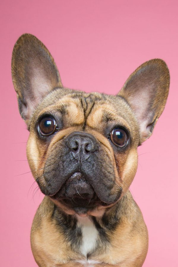 french bulldog on pink