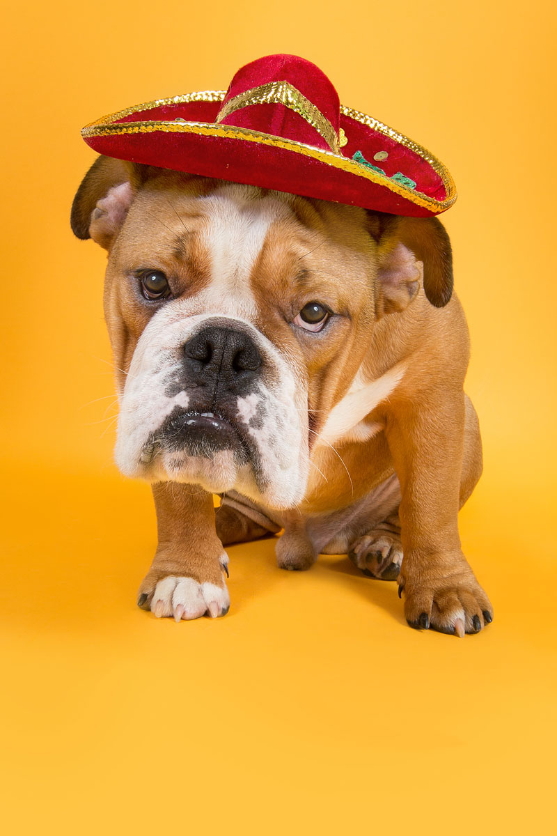 bulldog puppy with sombrarro